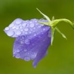 Campanula with waterdrops by Amada44